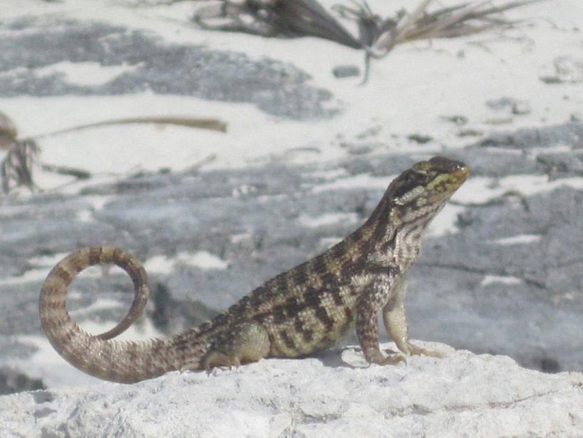 A curly-tail lizard on a Caribbean white sand beach