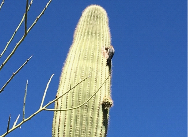 a single tower saguaro cactus