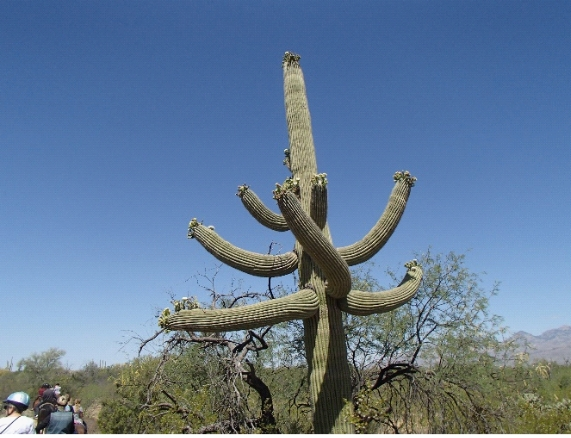 A saguaro cactus with multiple 'arms.'