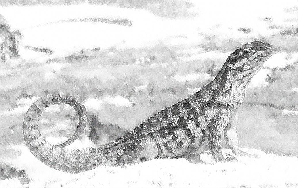A lizard curling his tail on a sandy beach
