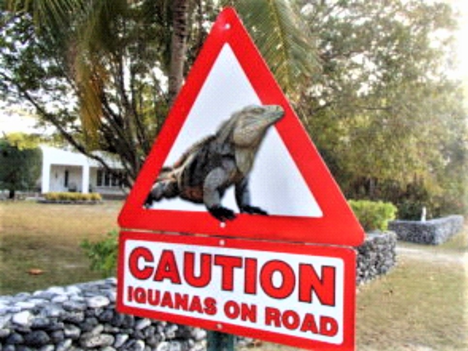 Sign on cayman brac, red border, showing rock iguana, with the words IGUANAS ON ROAD