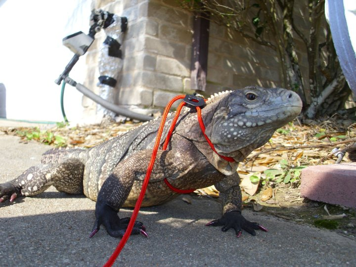 A Rock Iguana hybrid, wearing a leash, outdoors on the sidewalk, ready to go for a walk.
