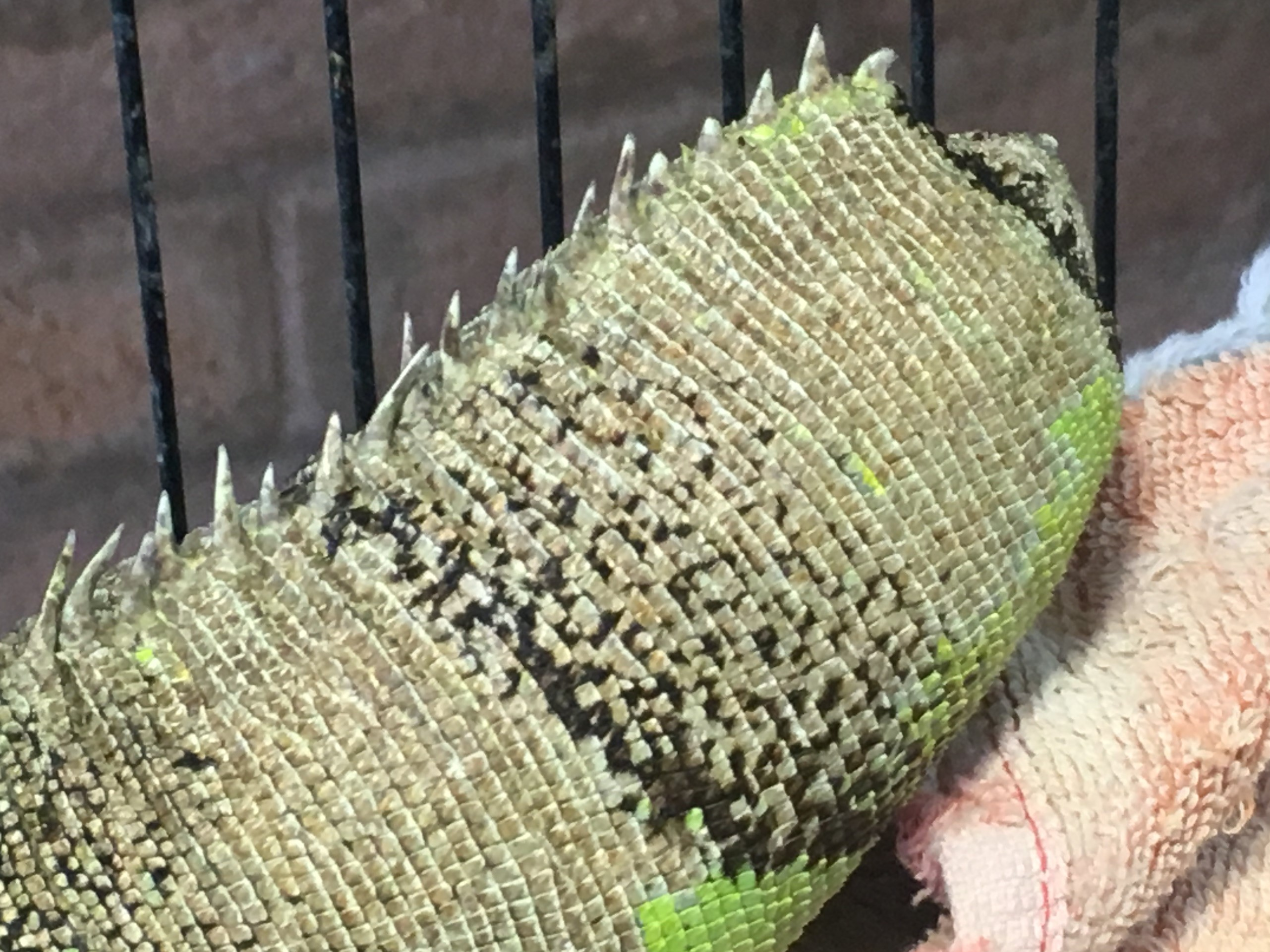 The chewed and amputated tail of a green iguana