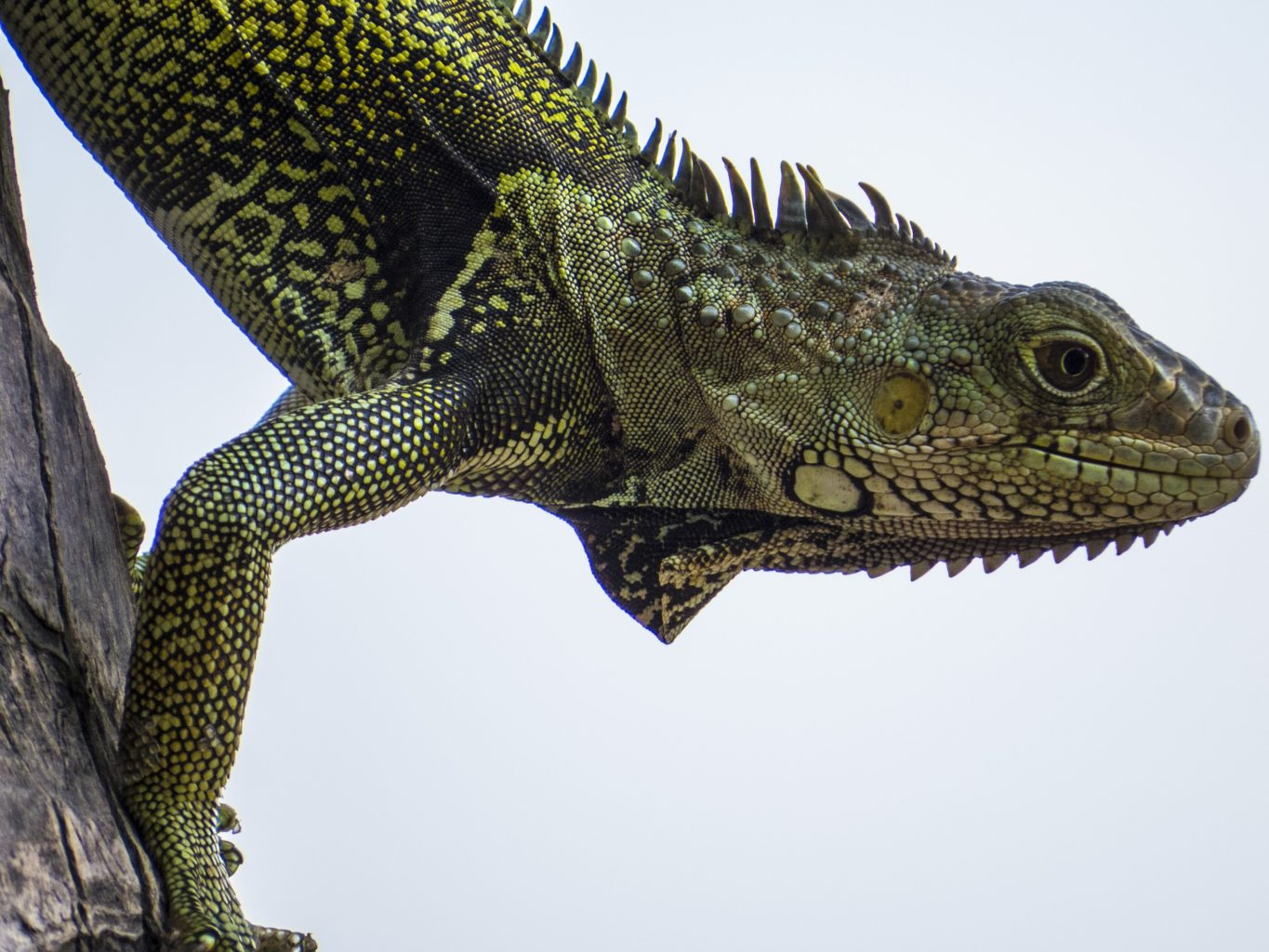 a green iguana looking out from a tree trunk
