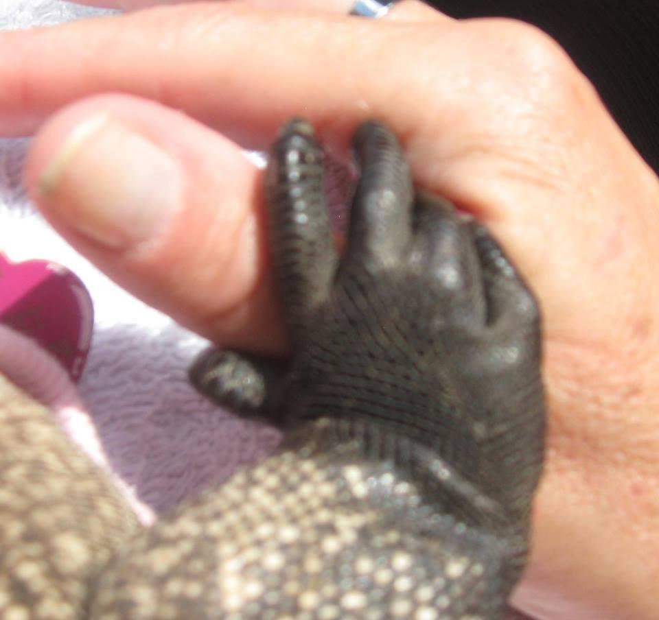 hand of a nine-pound iguana