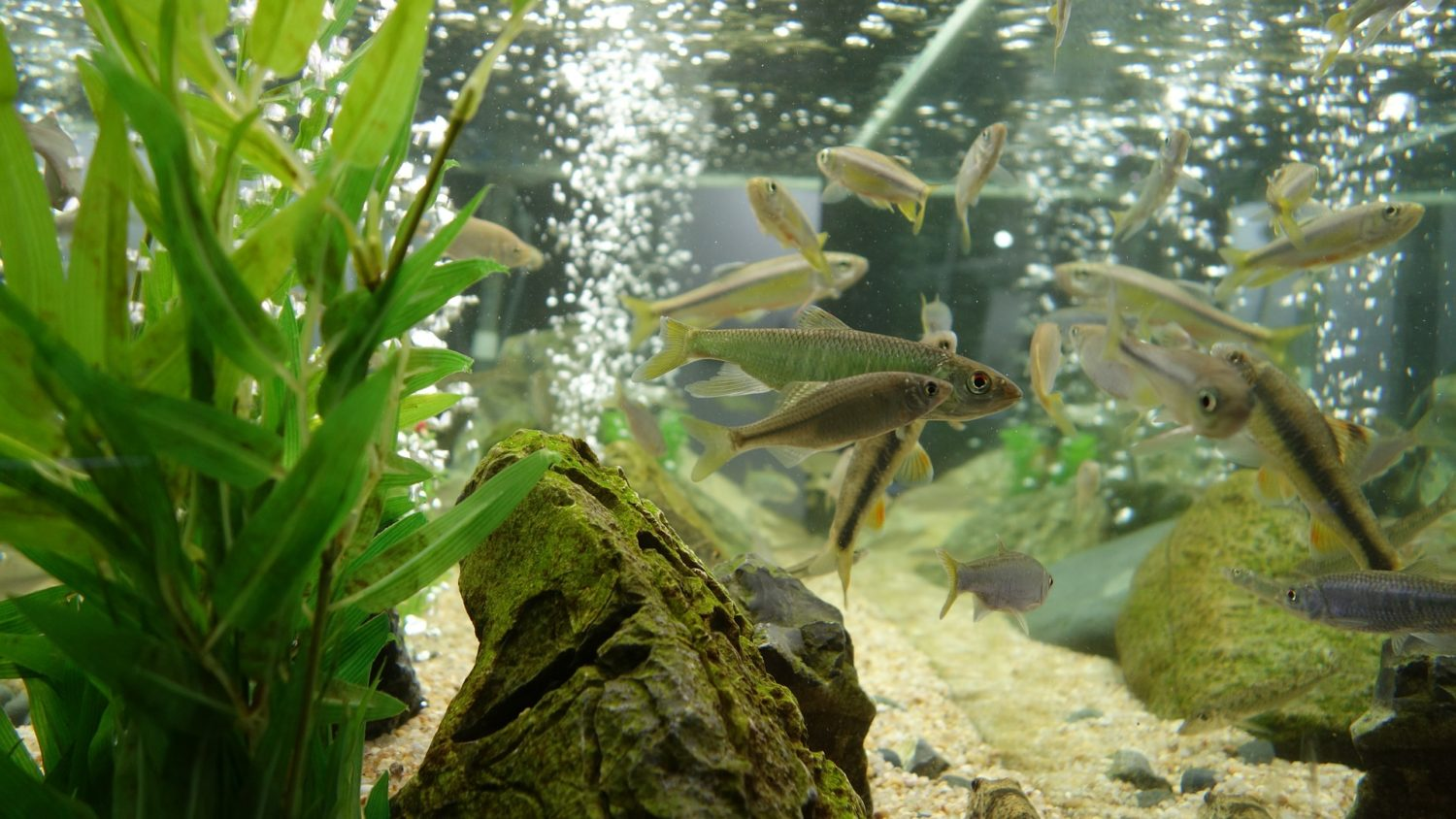 Small silver fish swimming in a fish tank filled with rocks and plants and bubbles.