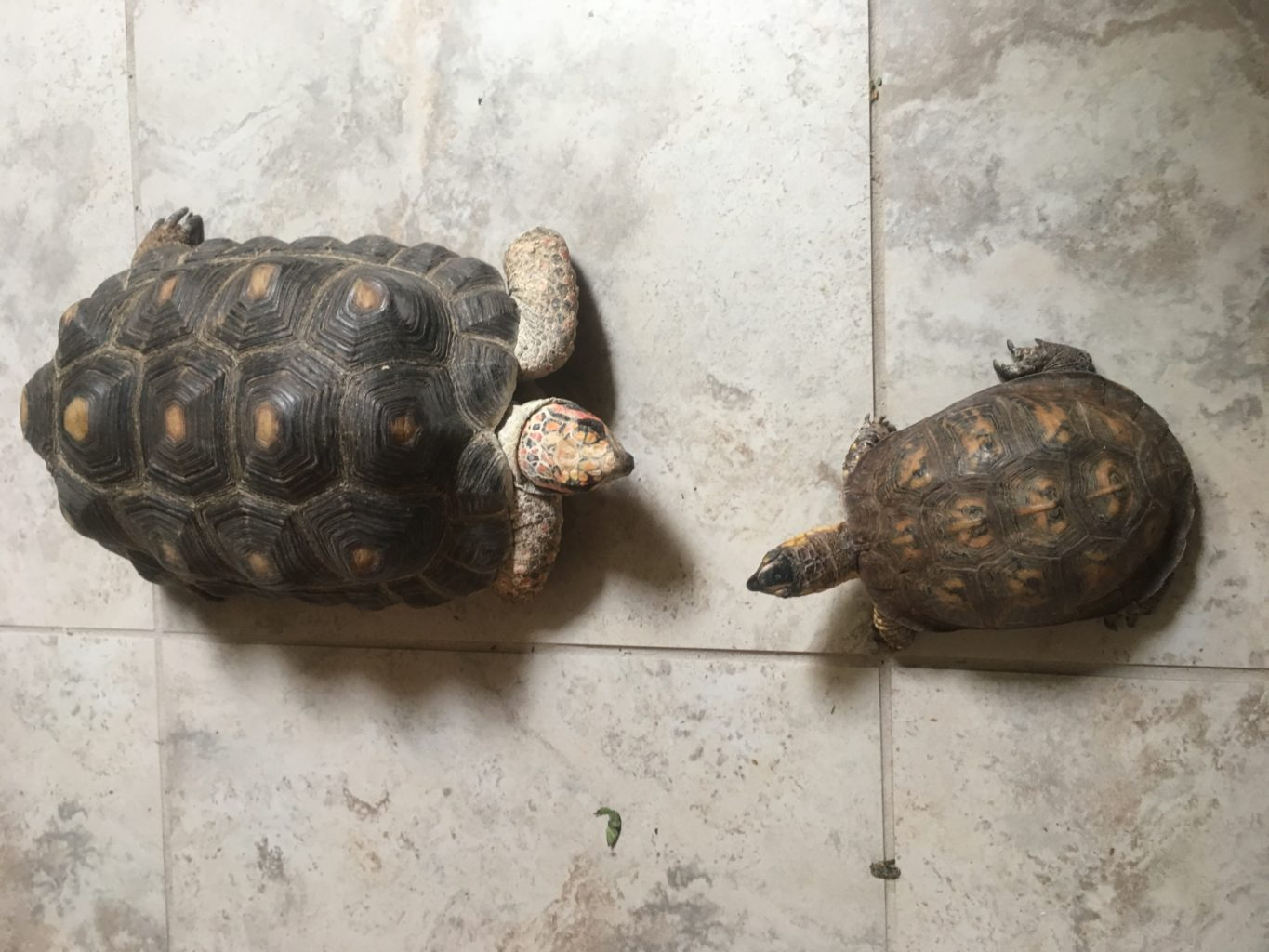 A red-foot tortoise faces an Eastern box turtle, on a tile floor.