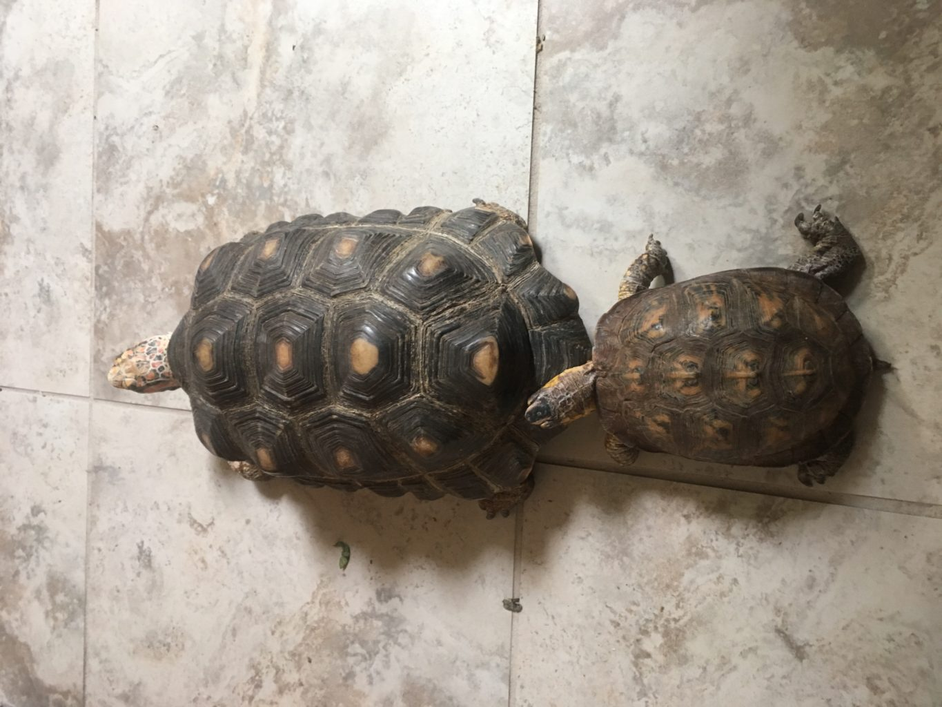 A box turtle approaches a red-foot tortoise, on a tile floor