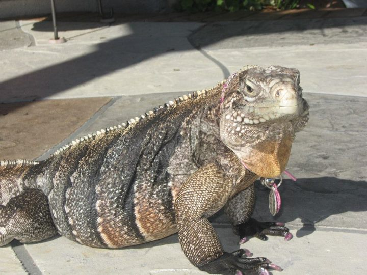 a nine-pound iguana on tile floor