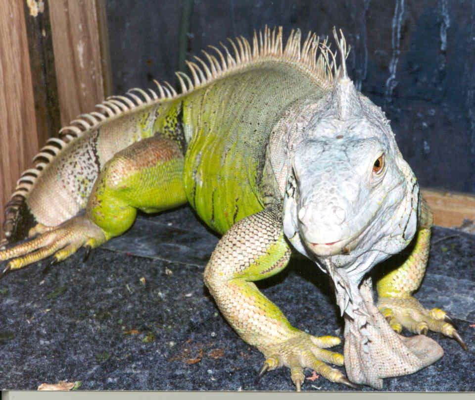 a yellow green iguana posing on a gray table