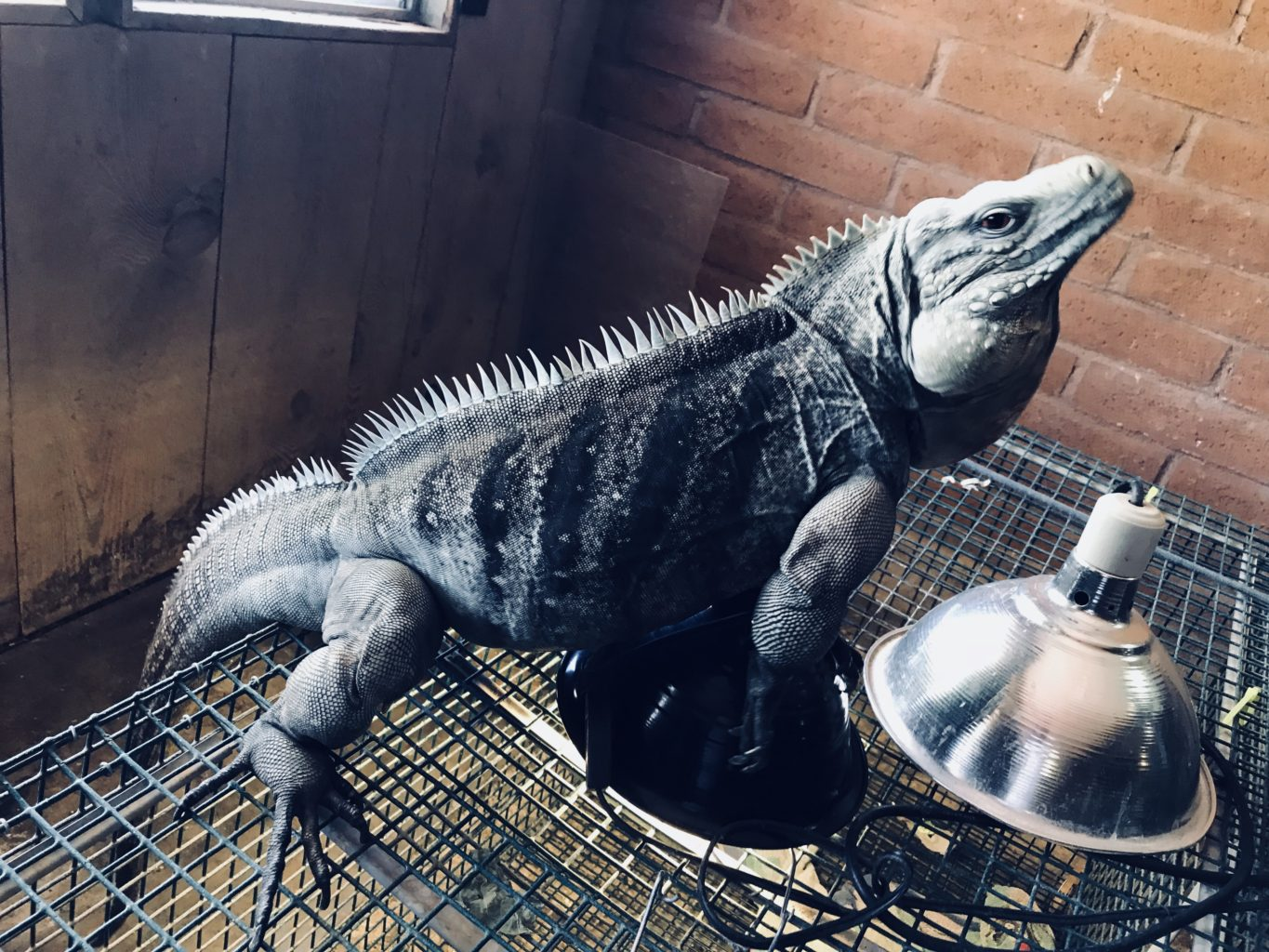 an adult male blue iguana hybrid standing on top of a cage