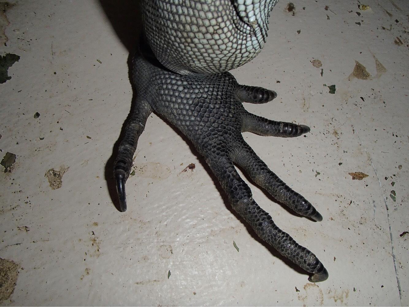 a close-up of an iguana's foot