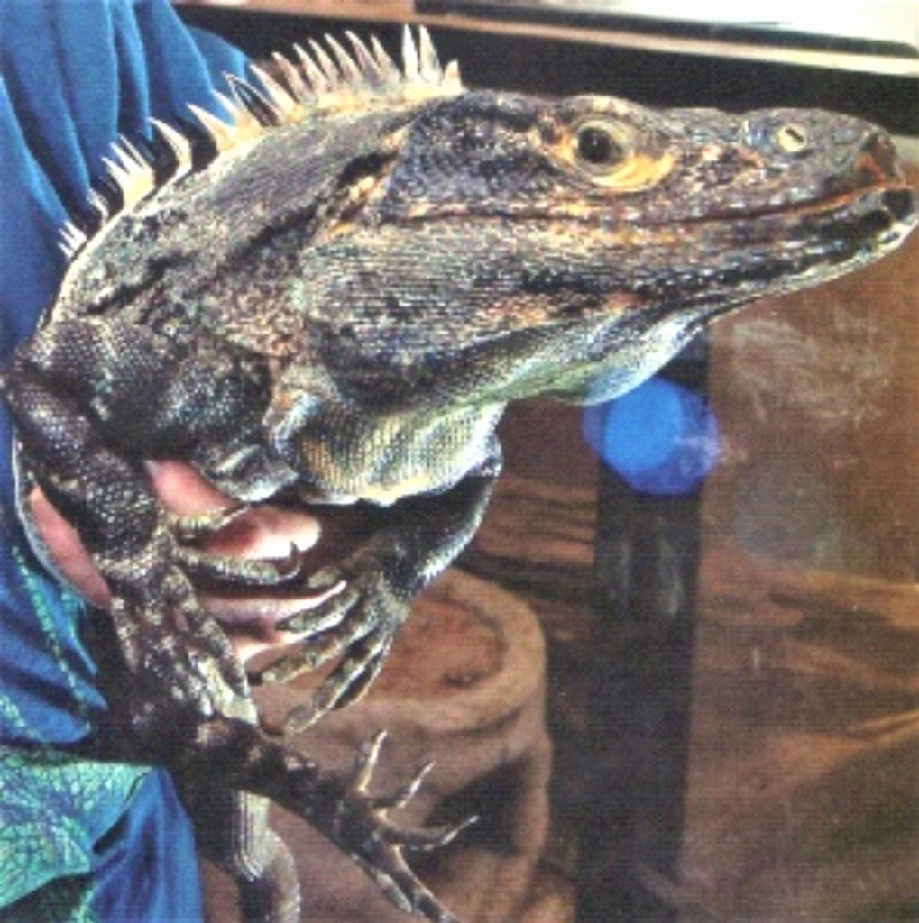 the head and upper body of a black, or spiny-tail iguana being held by human hand