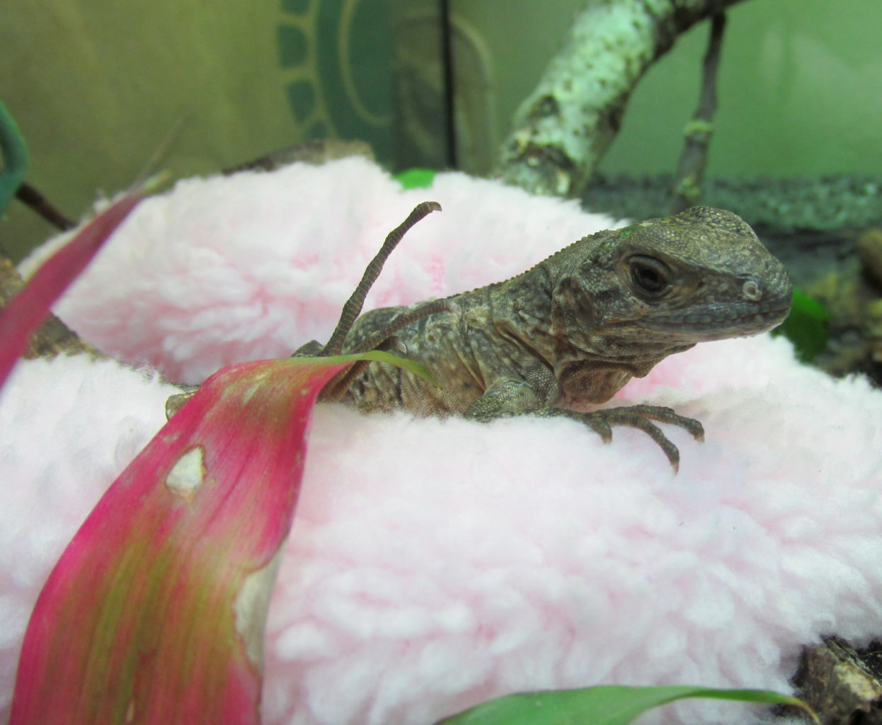 a lizard, a Ctenosaura similis, on a pink bed, surrounded by green plants and a pink leaf