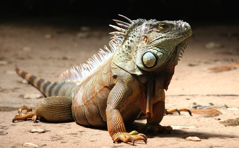 a grreen iguana posing on concrete