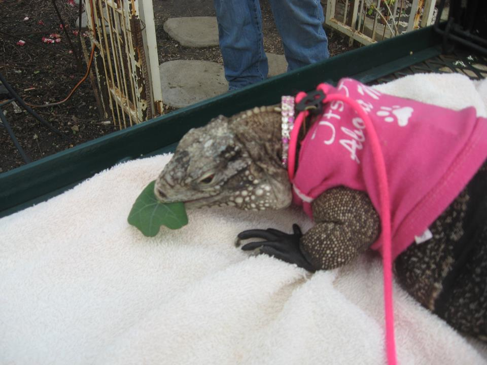 a rock iguana in a hot pink dog t-shirt on a white blanket, eating a green leaf