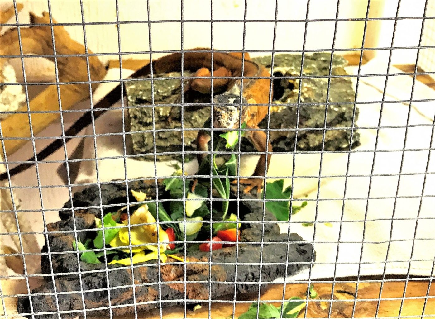 A reddish green iguana inside a cage, standing at a salad plate, with greens in his mouth.