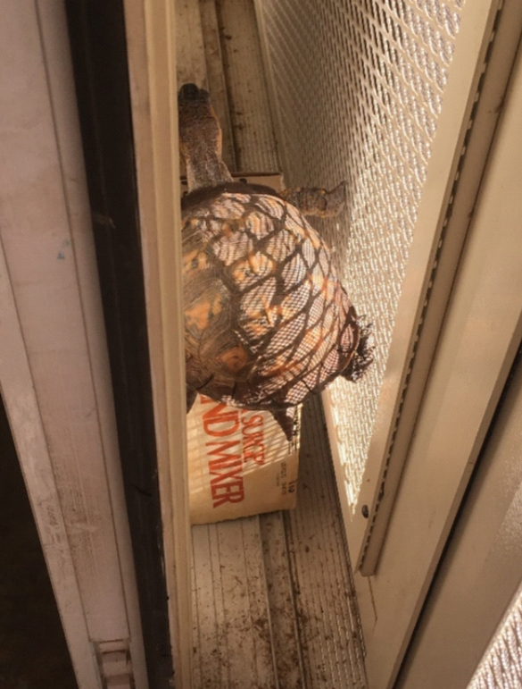 A box turtle, climbing onto a box, stuffed between a glass door and a screen door