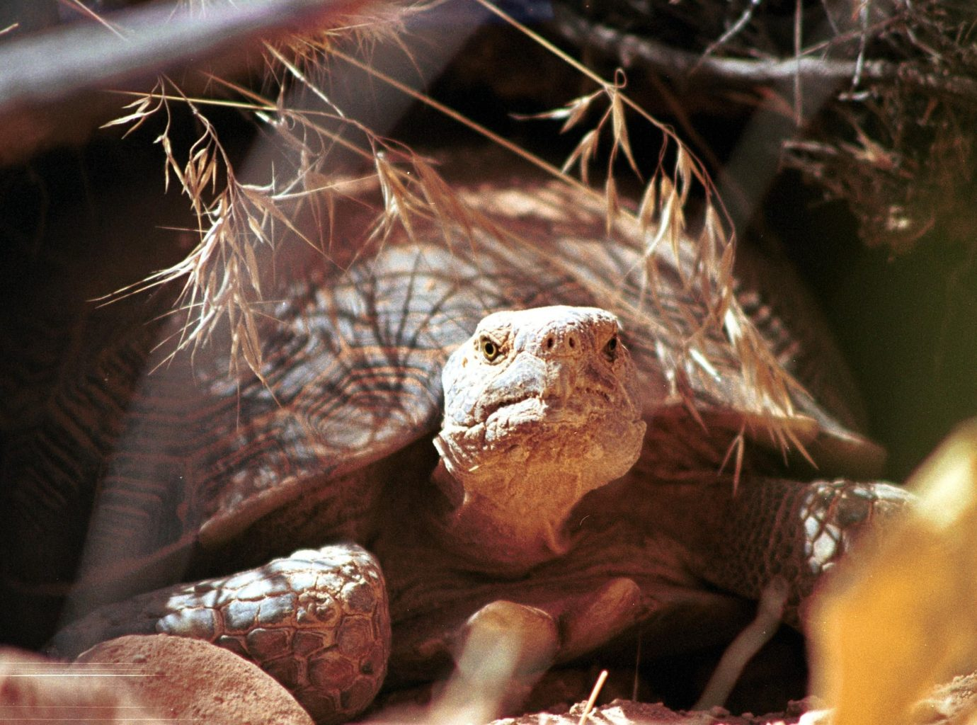 Background is the desert, browns, tans, yellows. The face and front legs of a Desert Tortoise, with its shell.