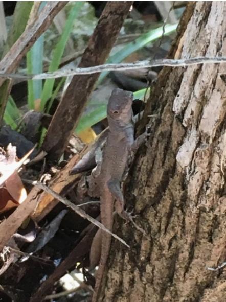 A Bahamian gray Anole lizard climbing a tree
