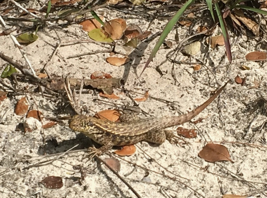 Brown curly tail lizard on the sand with grasses around