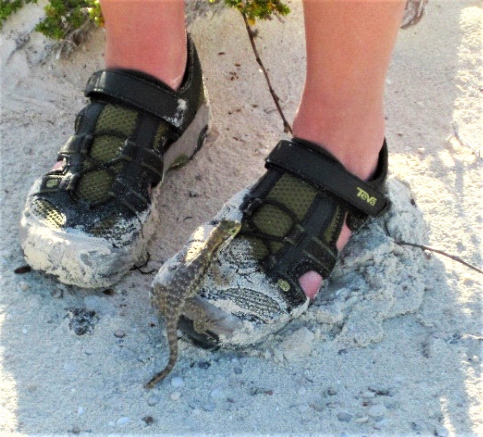 Sneakers on a beach, with a Cury-tail lizard on one of the shoes