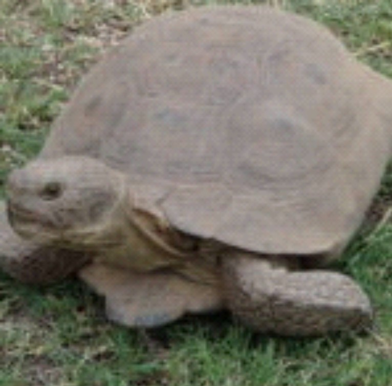 image of a gray Sonoran Desert Tortoise on grass