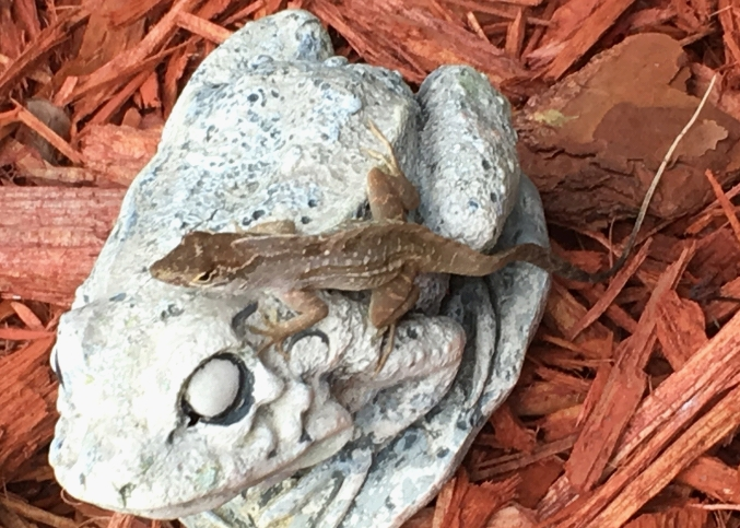 brown anole lizard on white frog statue on wood chips