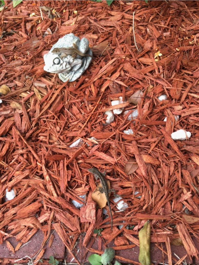 two brown anole lizards on the ground, rocks, leaves