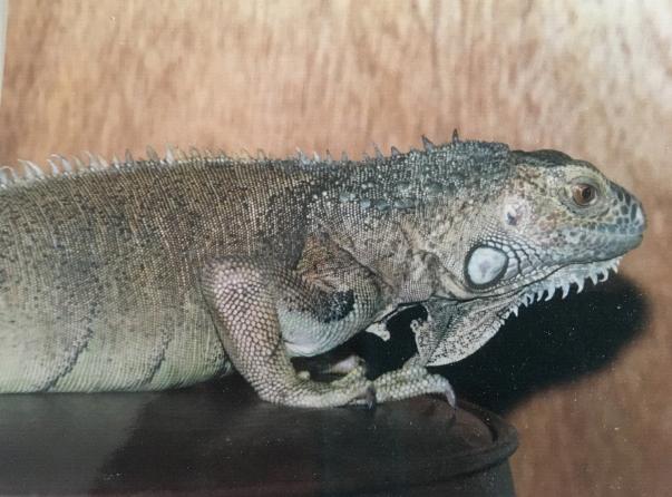 Green Iguana, Loa, on a tabletop