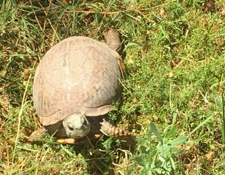Sonoran Desert box turtle in the grass