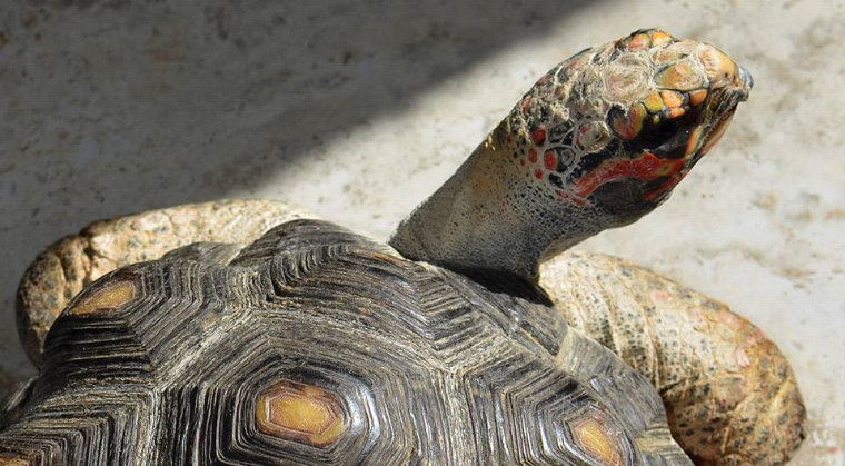 A red-foot tortoise, showing top of shell and head looking back at photographer