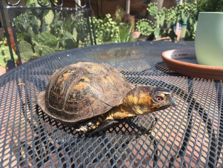 A box turtle on a patio table in a backyard
