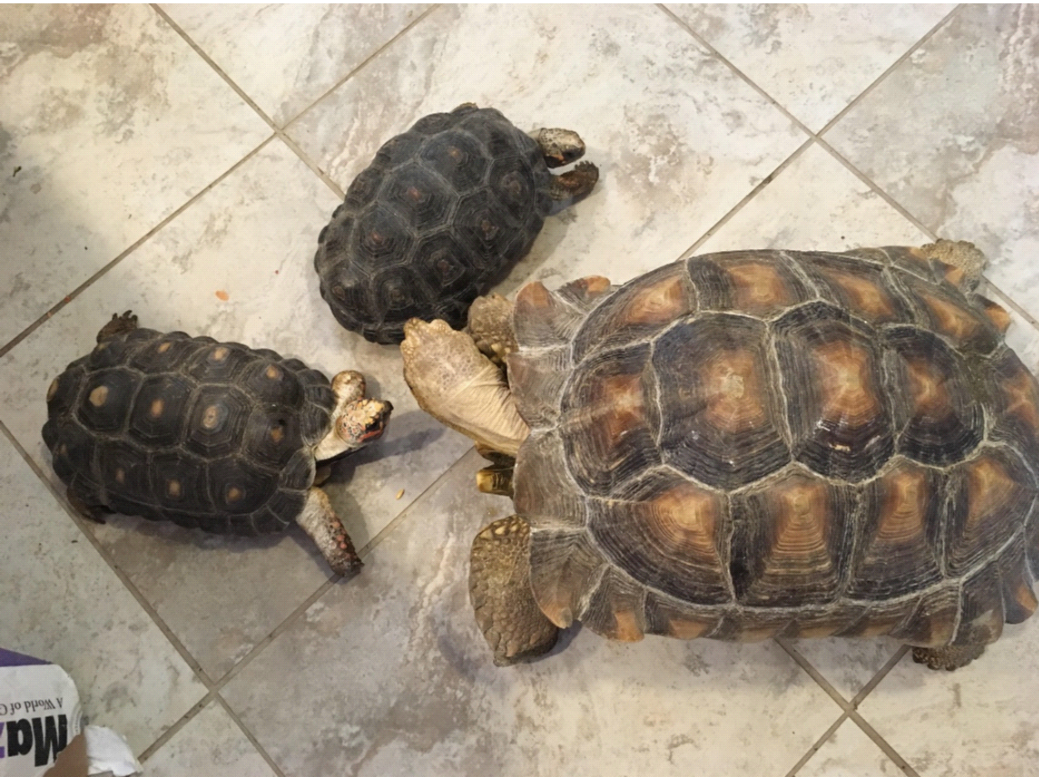 On tile floor, female red-foot tortoises sidle up to the large male sulcate tortoise