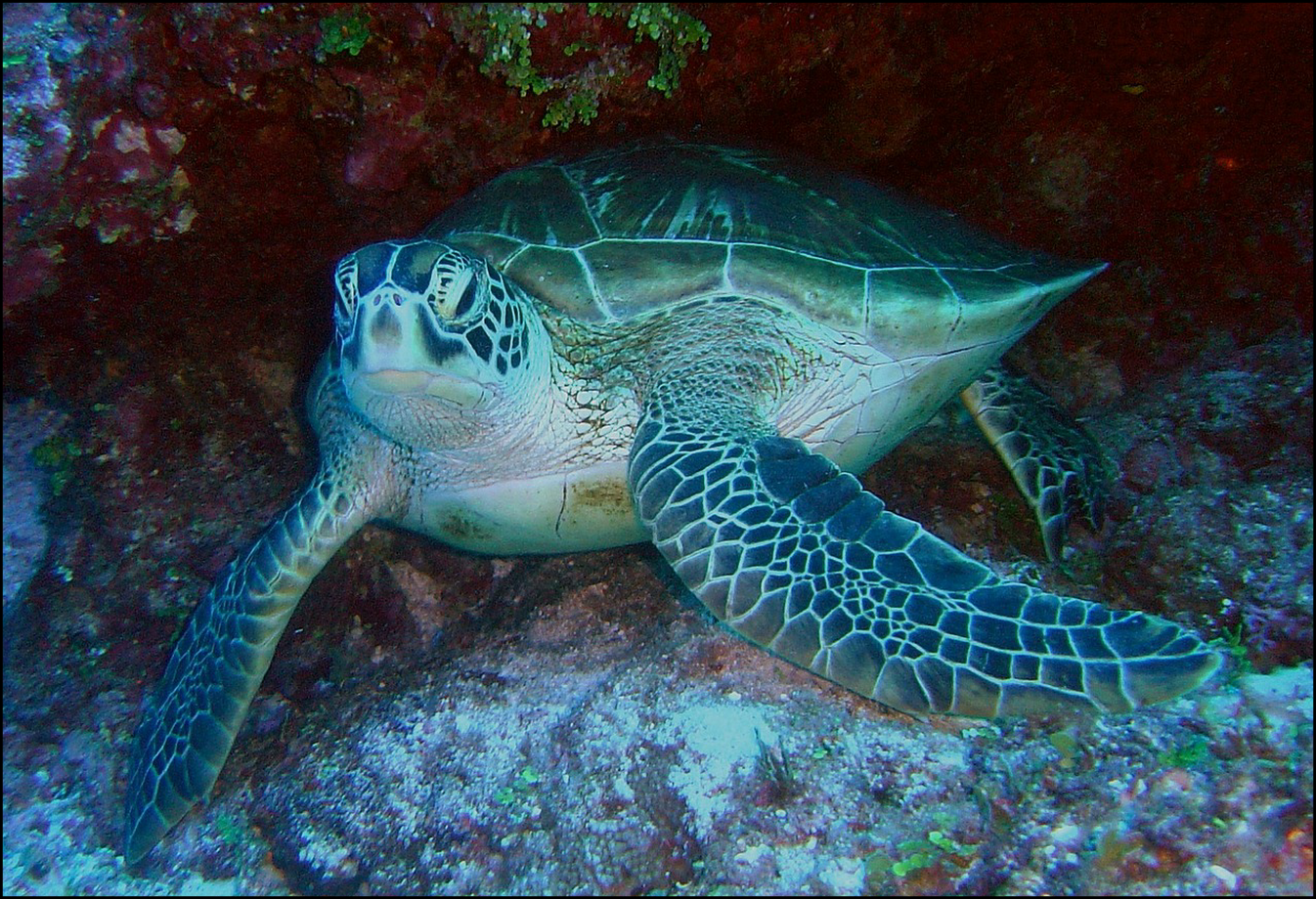a green sea turtle in the ocean