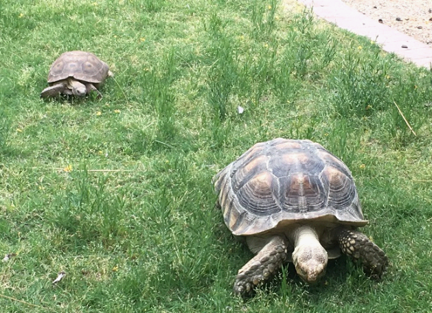 two tortoises on grass; small territorial tortoise is chasing large guest tortoise