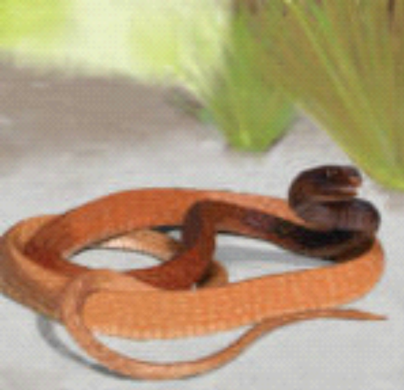 Illustration of a Red Racer, or Coachwhip snake