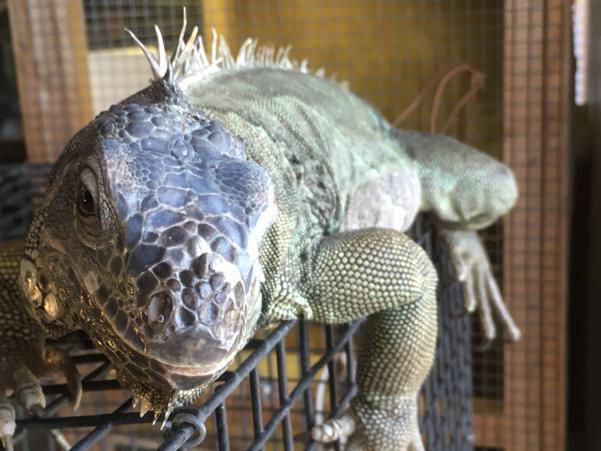 closeup of a green iguana