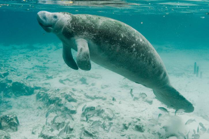 manatee swimming in turquoise ocean water