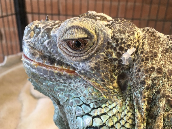 profile of elderly green iguana