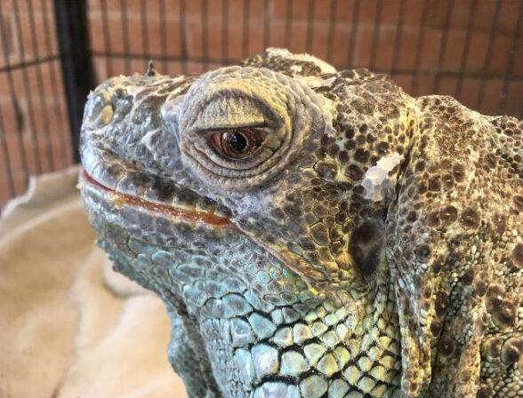 Head of elderly green iguana