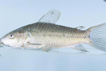 a brown catfish in blue water