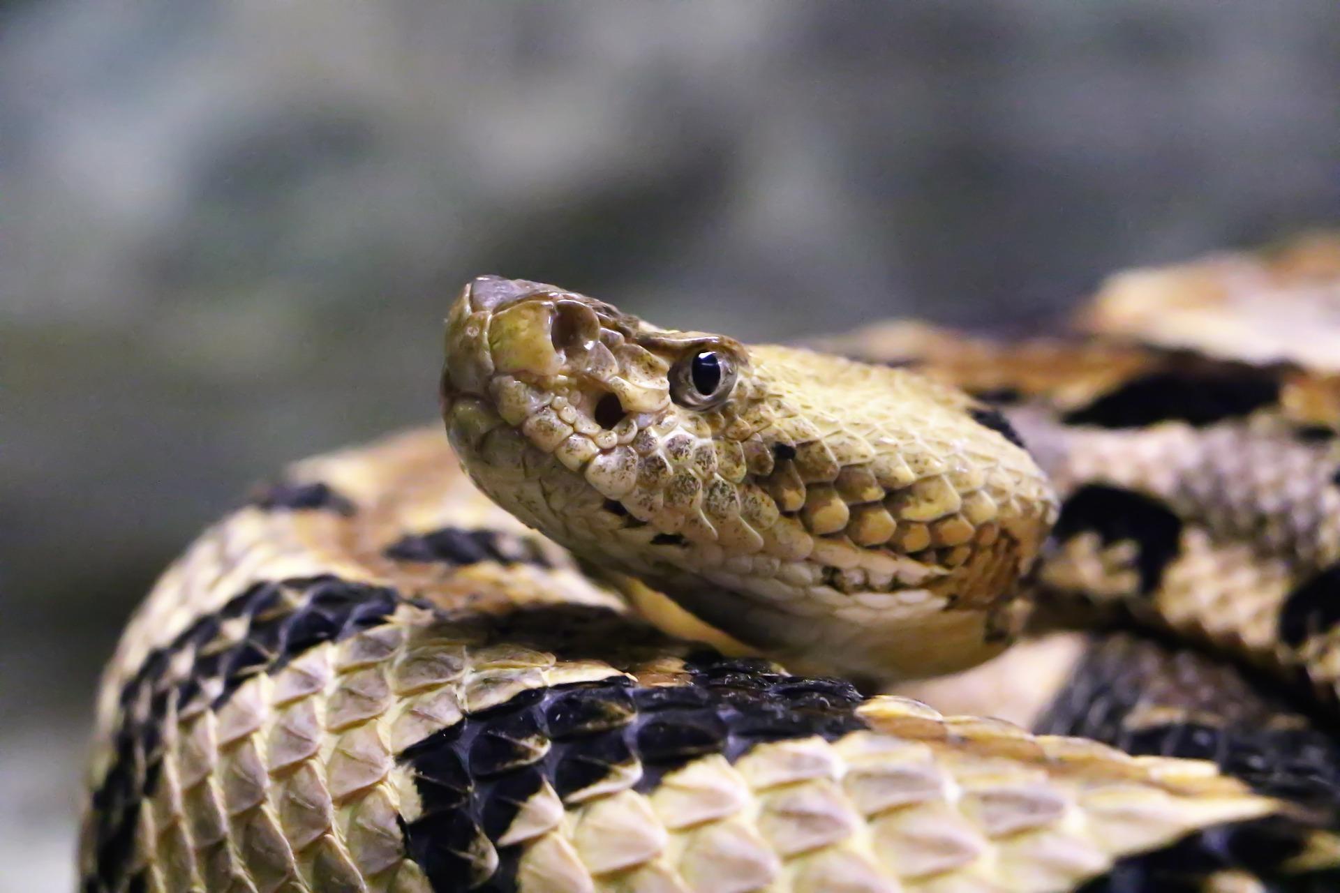Curled rattlesnake