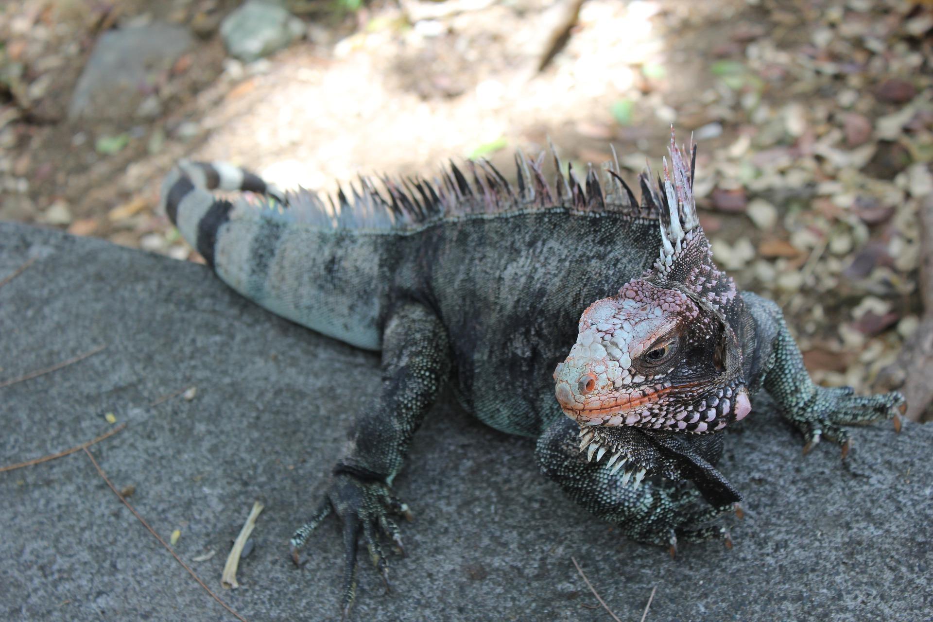 Bahamian iguana