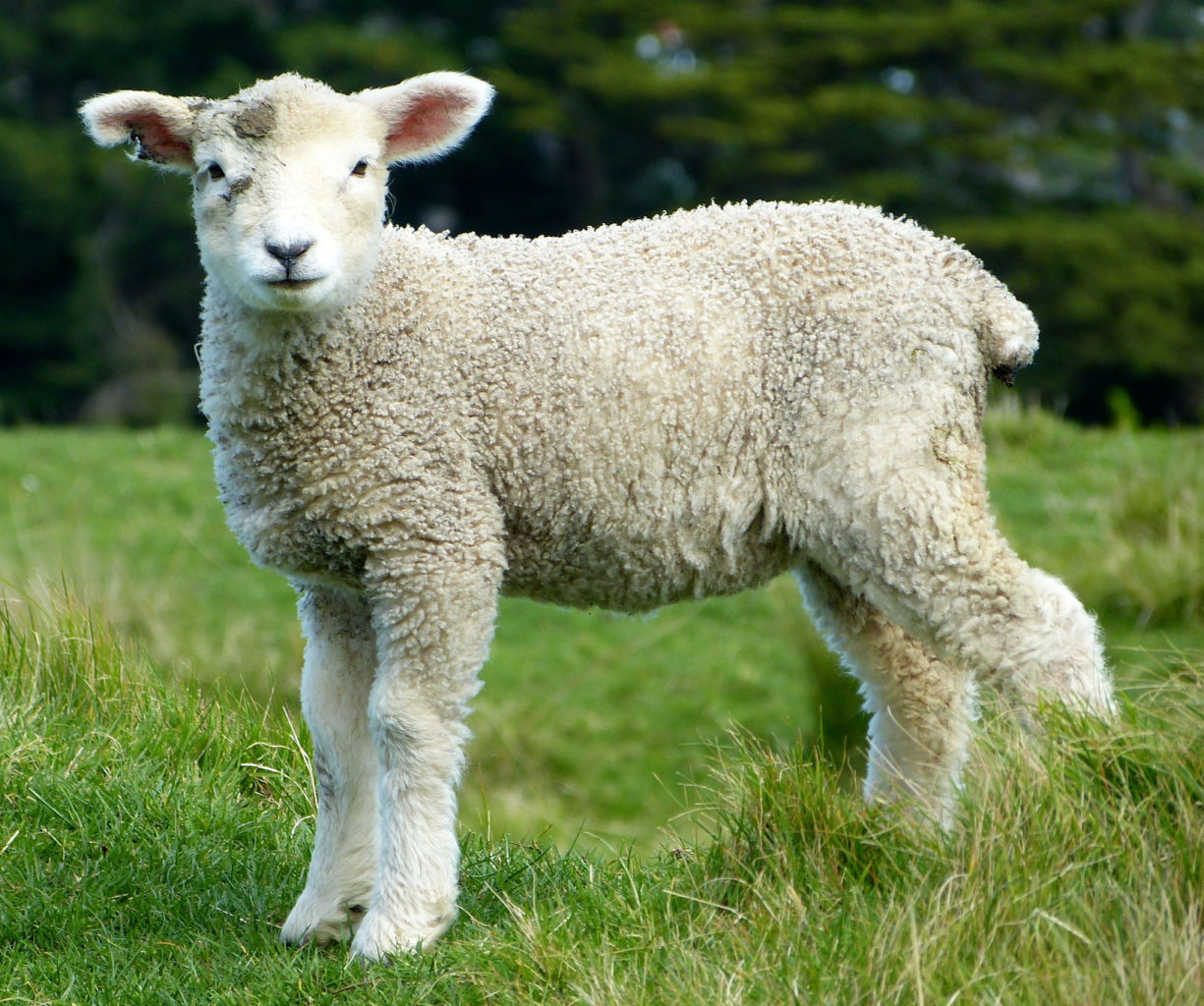 Baby sheep standing in grassy field