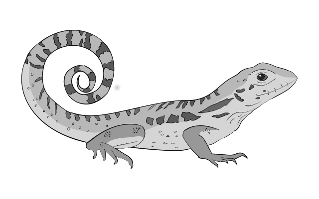 black and white illustration of a curly-tail lizard