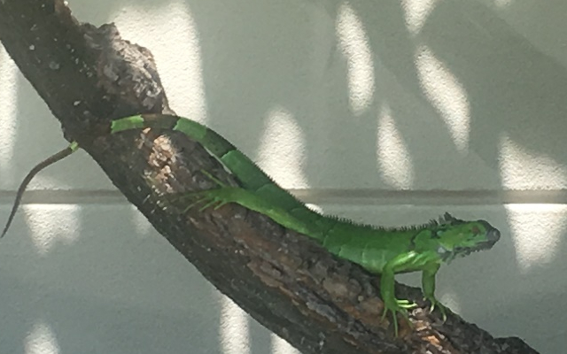 a bright green iguana on a tree in Grand Cayman