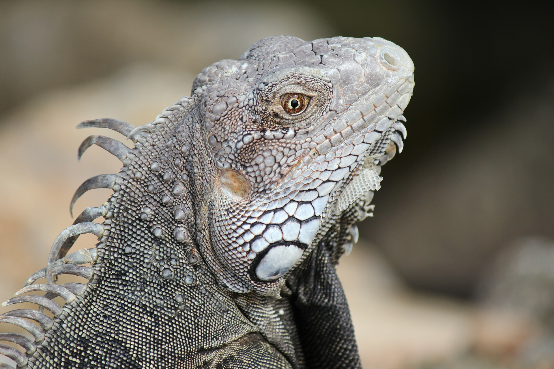 photo of the profile of a carbbean iguana