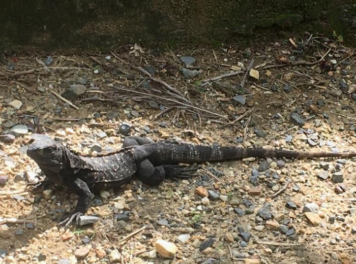Roatan Spiny Tailed Iguana