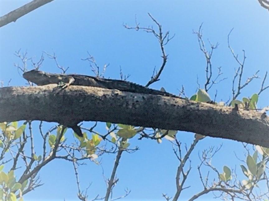 Swamper Iguana